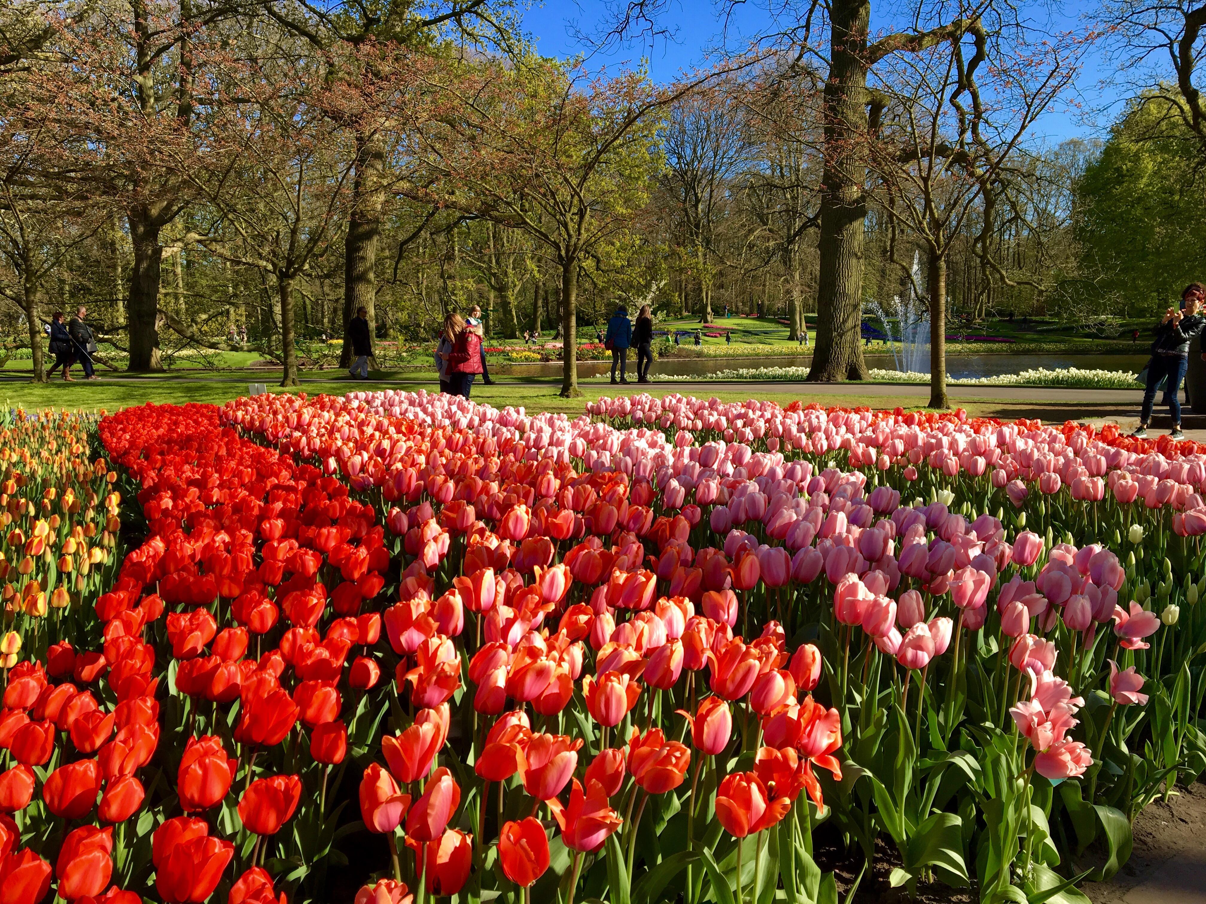 オランダのチューリップの庭園「キューケンホフ公園」へ2016